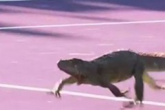 Игуана спря тенис мач, гонят я из корта (видео)