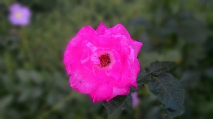 @fbQ1P5e_10204031304853870 | Розова красота | 0 харесвания