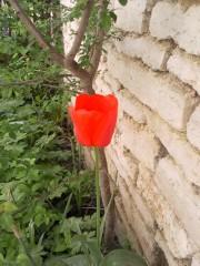 Баба Яга и седемте джуджета   Червено лале в моята градина   27 харесвания